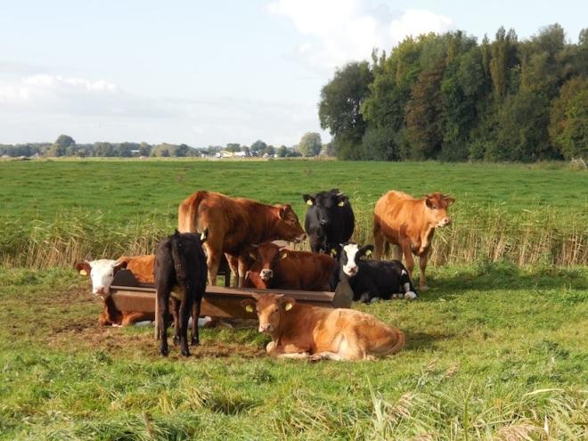 koeien-bij-eekwerd