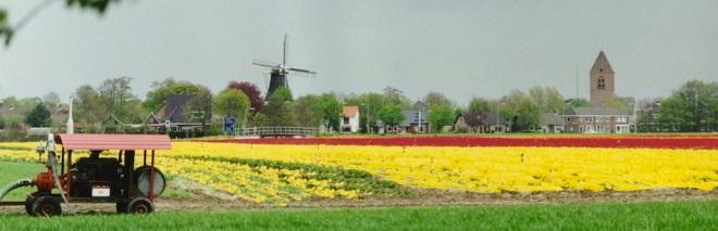 loppersum-tulpen